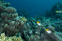 BD-150226-Gubal-Strait-7093-Chaetodon-auriga.-Forsskål.-1775-[Threadfin-butterflyfish.-Flaggfisk].jpg
